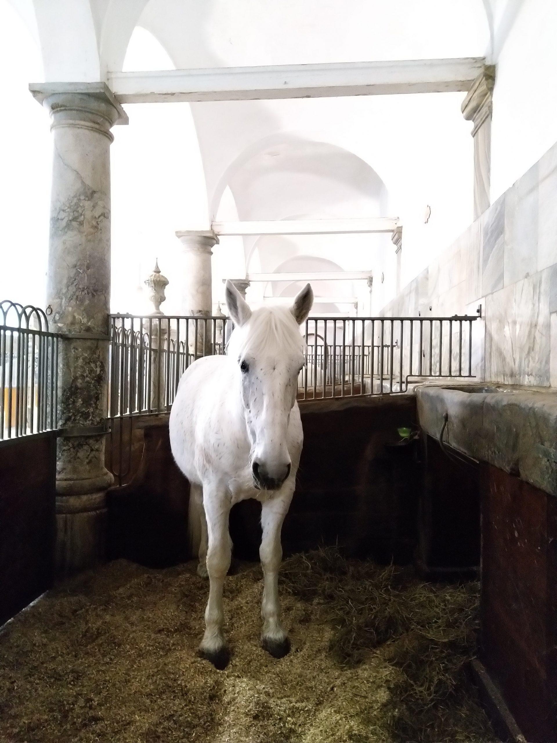 Koninklijke paarden bekijken in de stallen van Kopenhagen